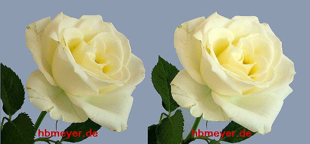 weiße Rose in Stereo